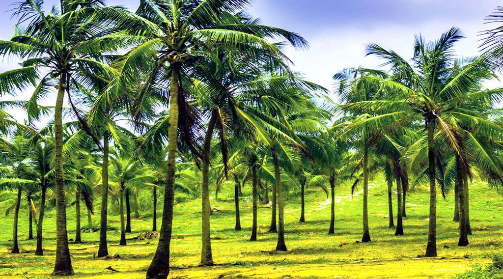 ஒரு வரிசை தென்னை வளர்ப்பு முறை - பசுமை இந்தியா